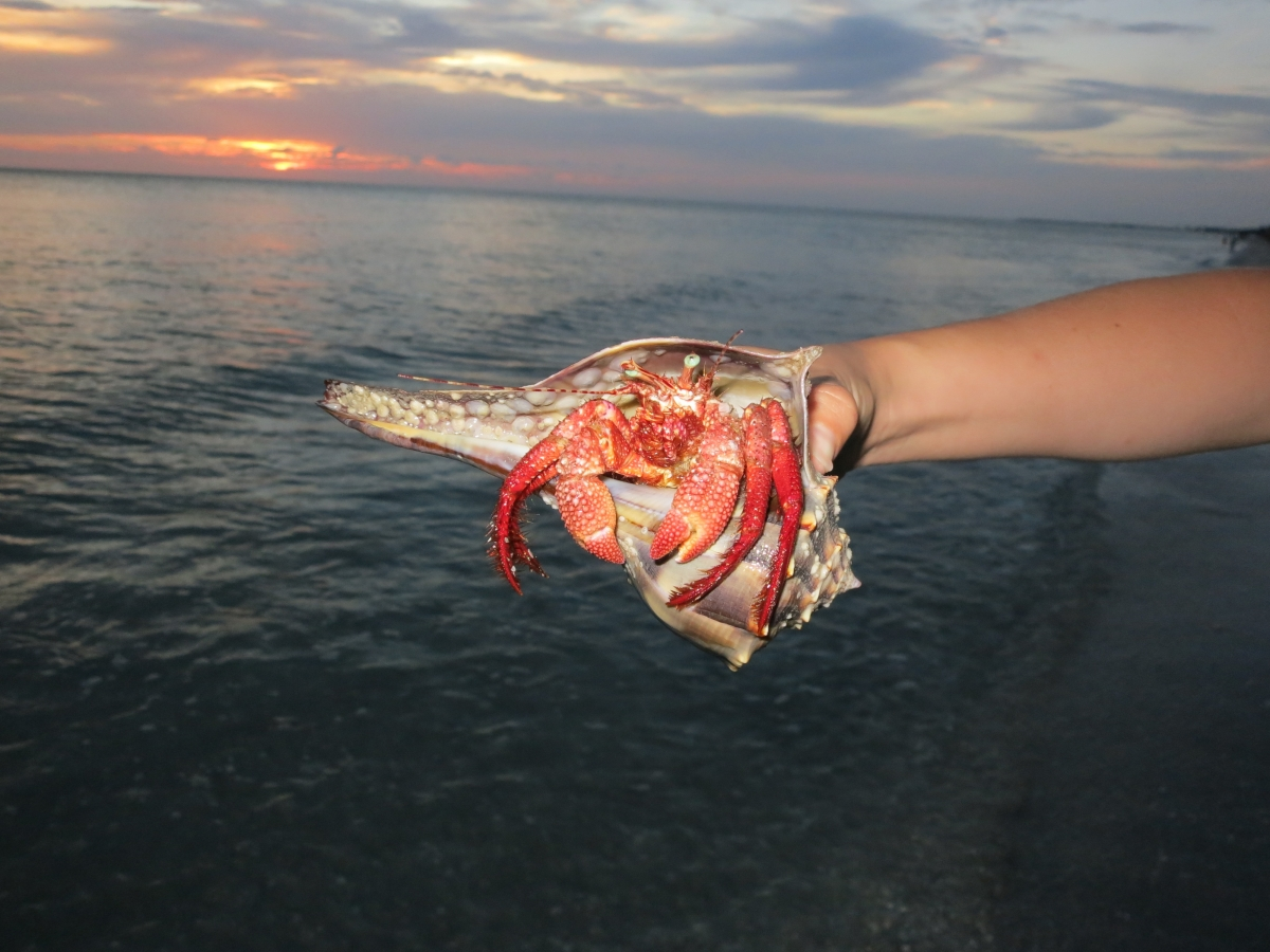 Hermit Crab on Captiva Beach at Sunset