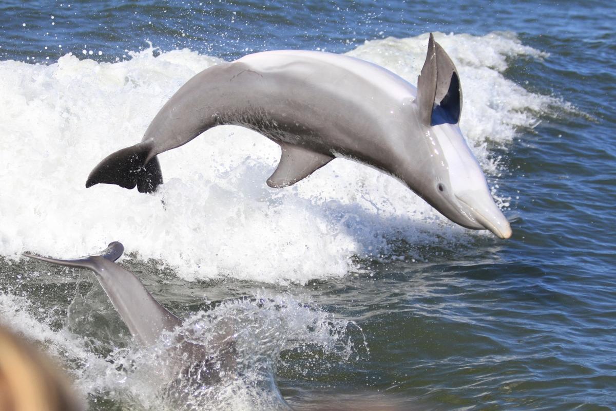 Dolphin off Captiva 1