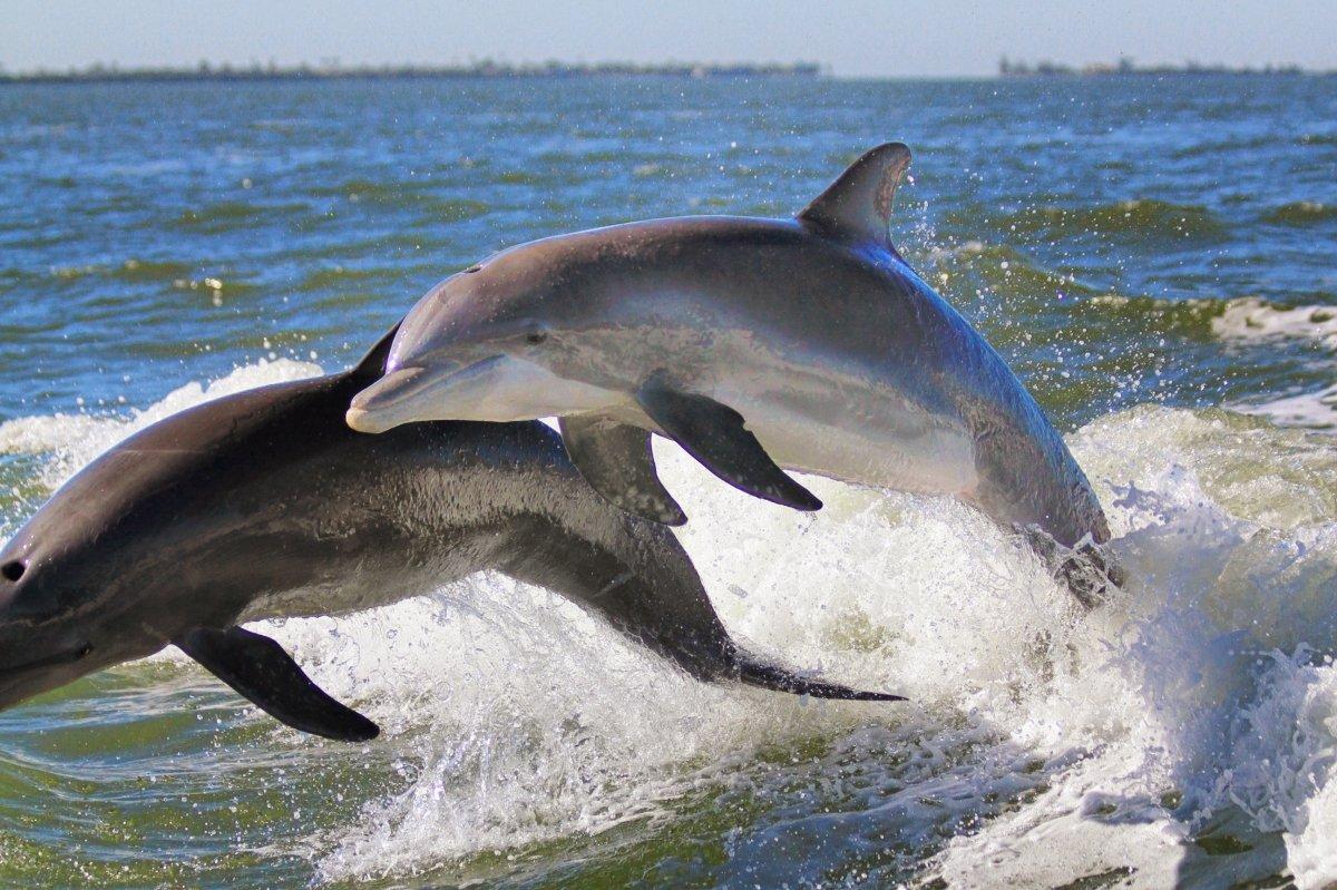 Dolphin off Captiva 2
