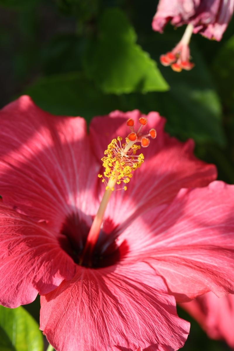 Pink Hibscus in Gardens