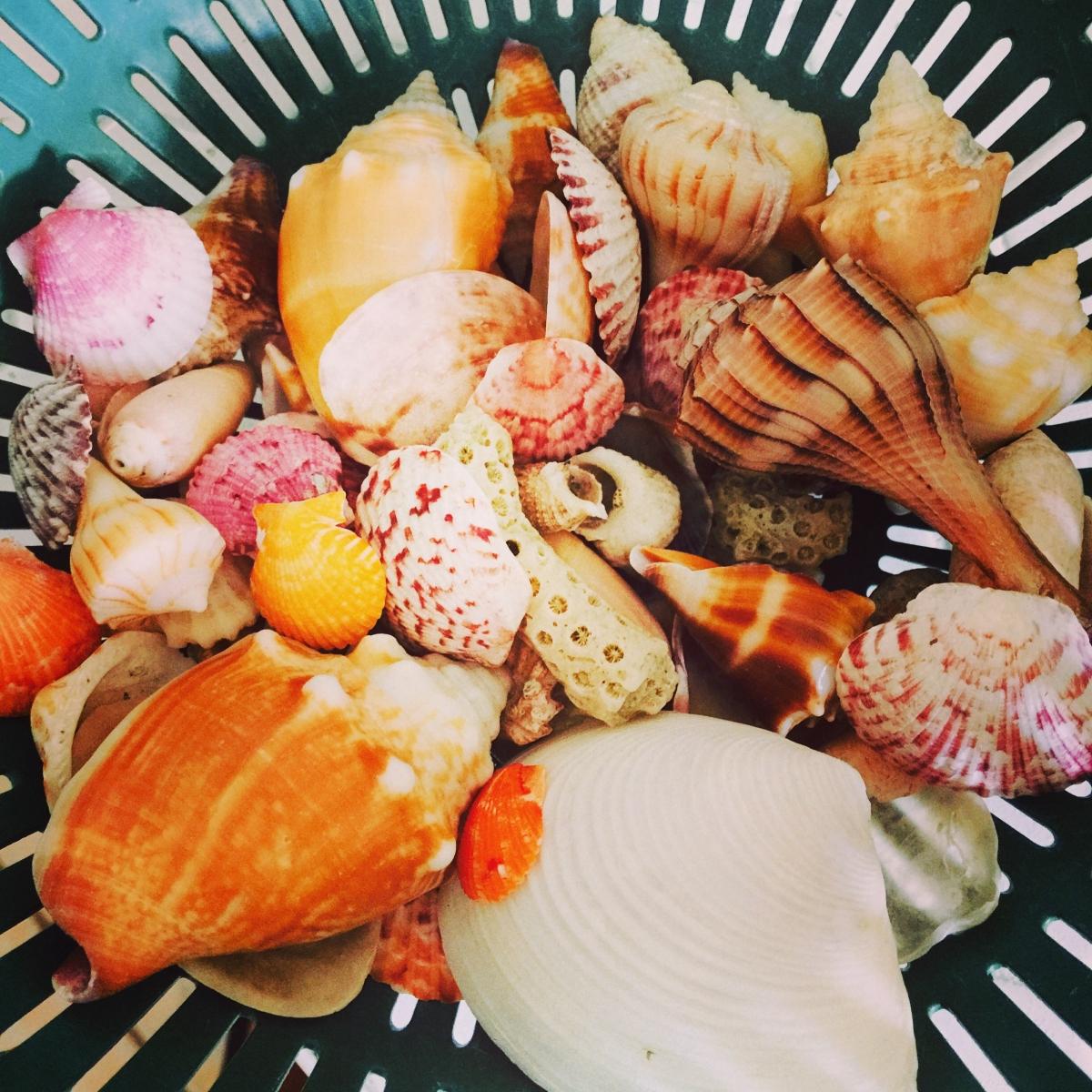 Shells from Captiva Beach